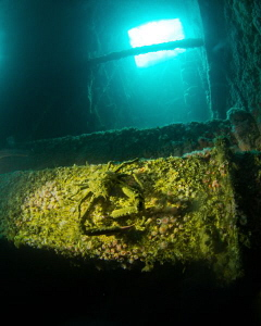 Deep down within the HMCS Yukon a Sheep Crab lurks in the... by Matthew Fischbach 